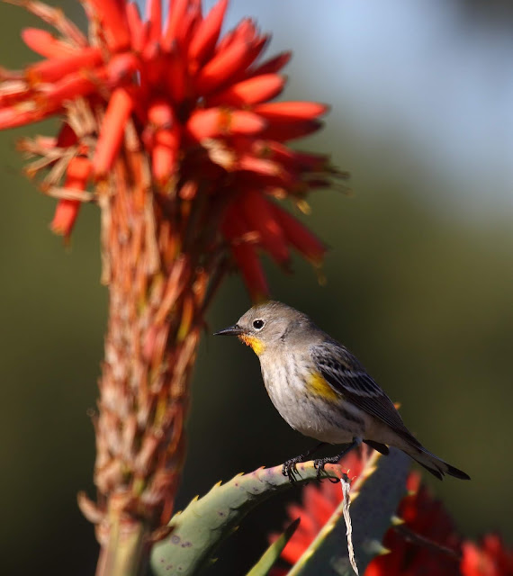 Photo of Yellow-rumped Warbler on succulant