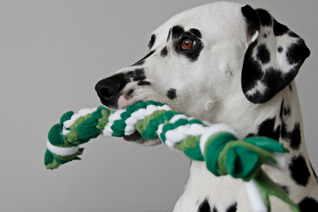 Dalmatian dog playing with a homemade woven fleece spiral tug toy