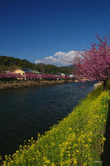 伊豆・河津櫻祭,油菜花與河津櫻真是相搭,非常好看。