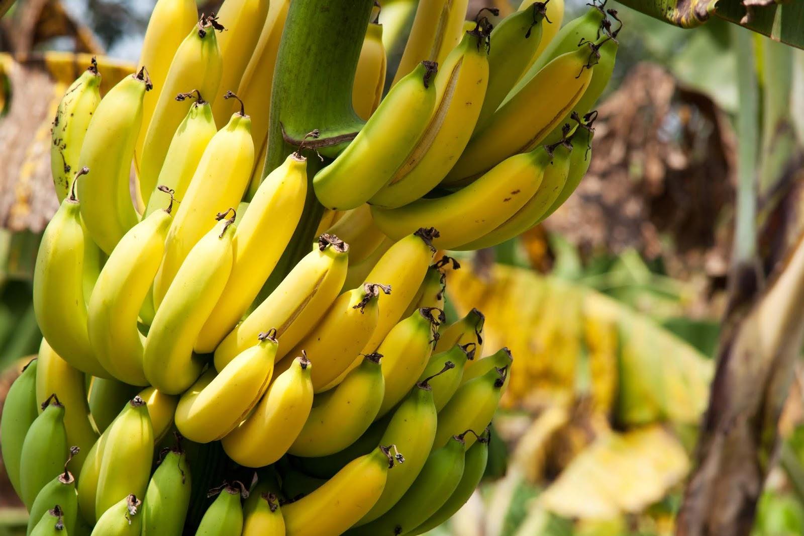 der postillon bundeslandwirtschaftsministerium rechnet 2018 mit bananen rekordernte. Black Bedroom Furniture Sets. Home Design Ideas