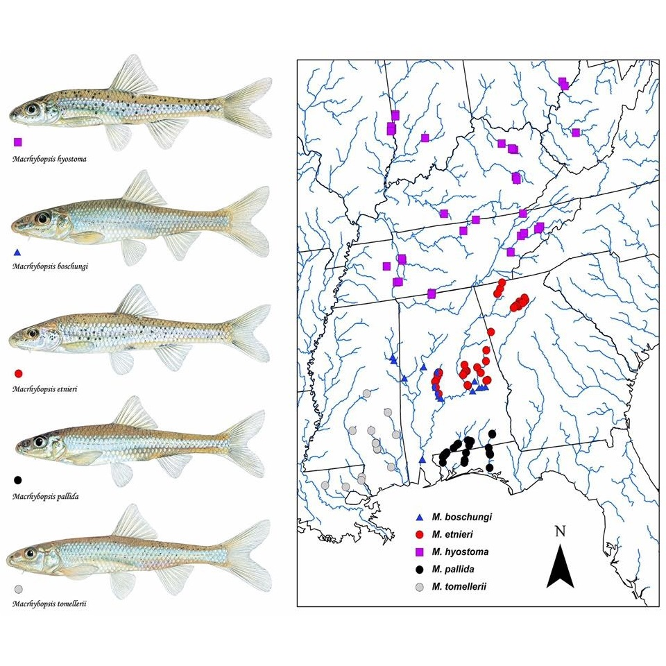 Review of Eastern US Populations of the Speckled Chub Reveals Four New Species