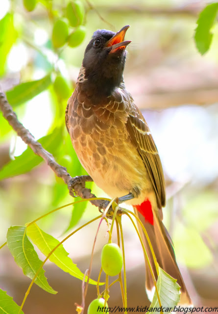 bulbul singing on neem tree mrugavani national park chilkur