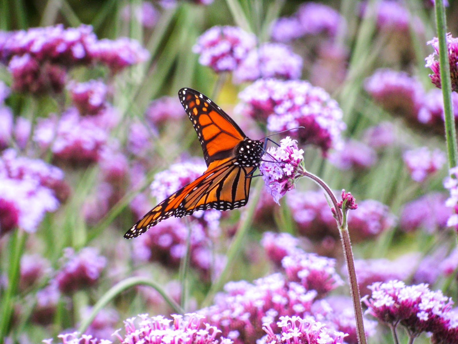 Best plants to grow for bees and butterflies verbena bonariensis