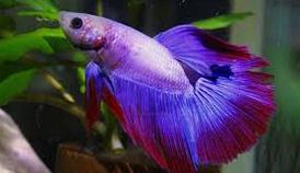 Jenis Ikan Cupang Alam, Hias ,Aduan