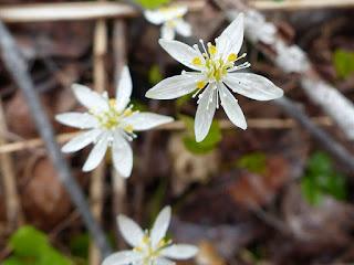 Coptide trifoliolée - Coptis trifolia - Savoyane - Coptide du Groenland