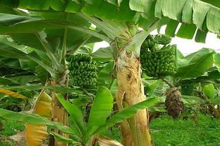 Tanaman Pohon Pisang