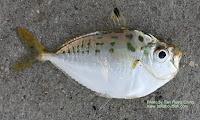 Haneda's Ponyfish