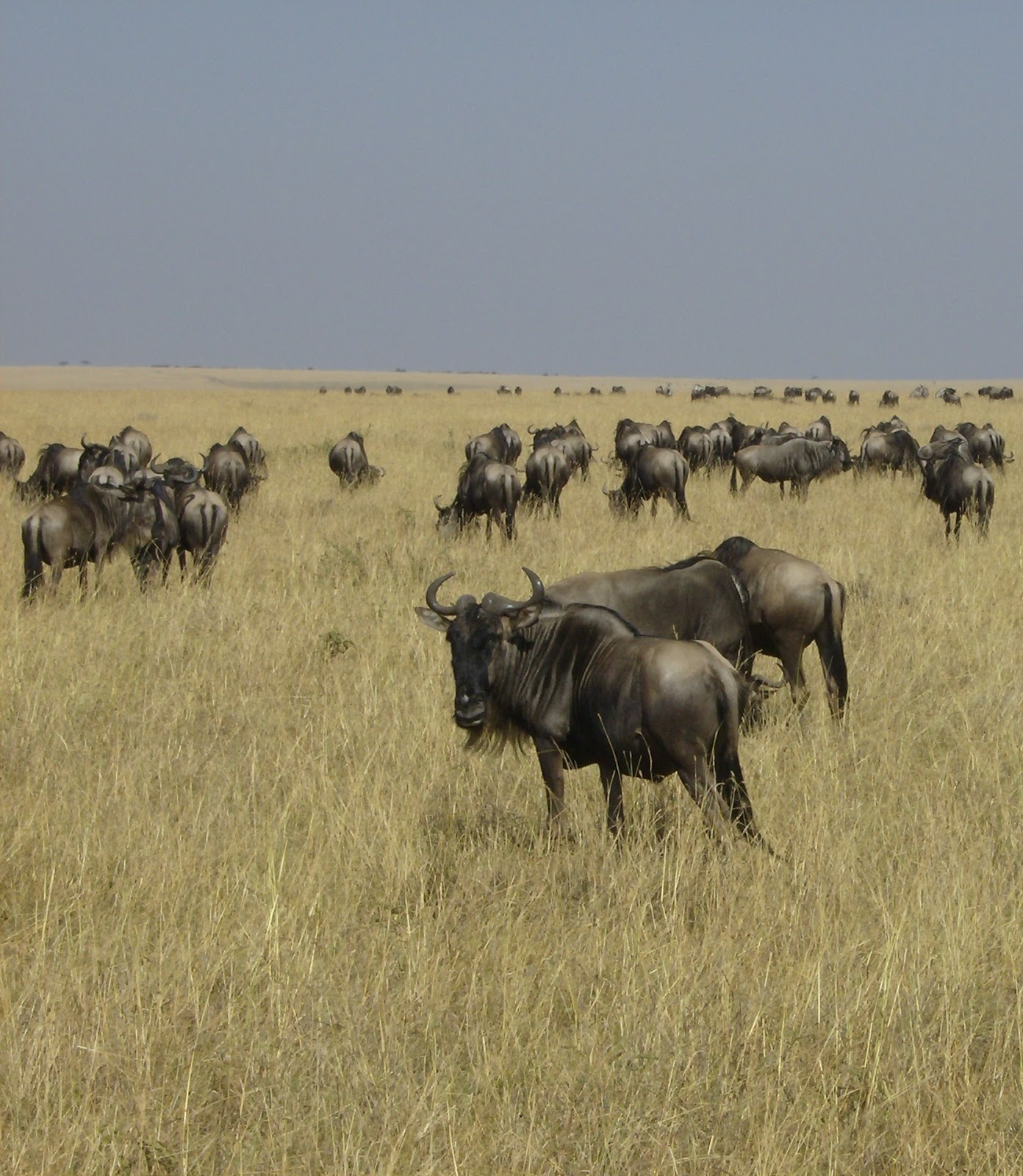 Picture of wildebeests in the savanna grasslands.