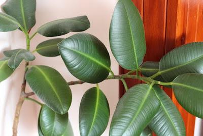 fikus trujące rośliny doniczkowe