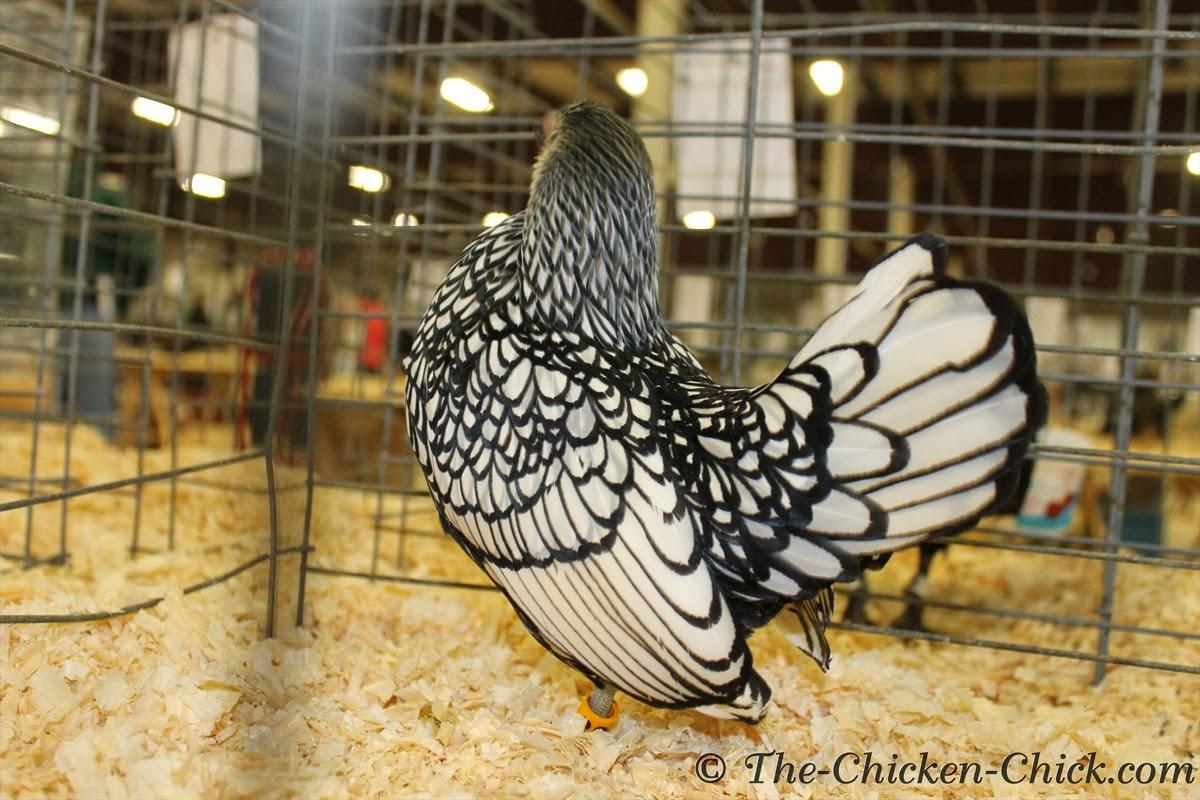 Bantam Silver Sebright hen
