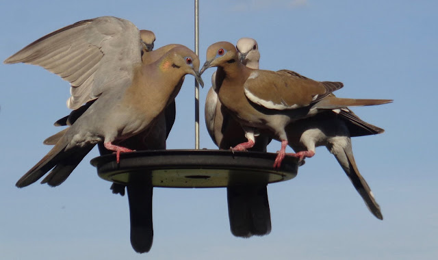 Doves on birdfeeder