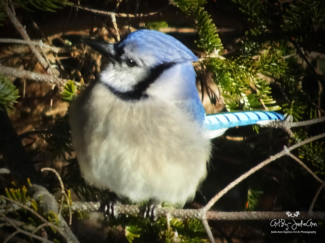 Fluffy Blue Jay