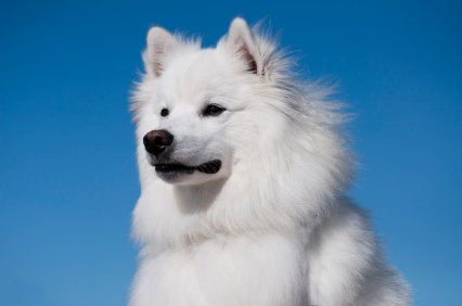 National Dog Show American Eskimo