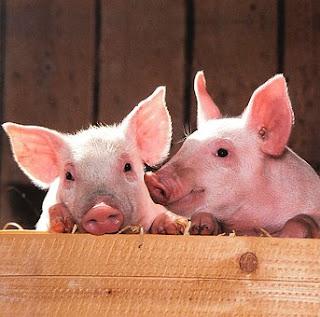تربية الخنازير