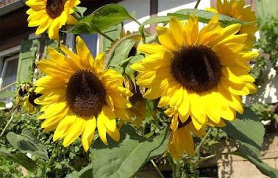 Cara Budidaya Bunga Matahari
