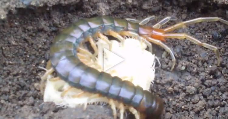 This is how a mother Centipede protect her babies