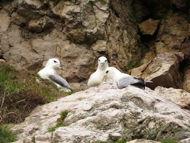 Fulmars - Little Orme, North Wales