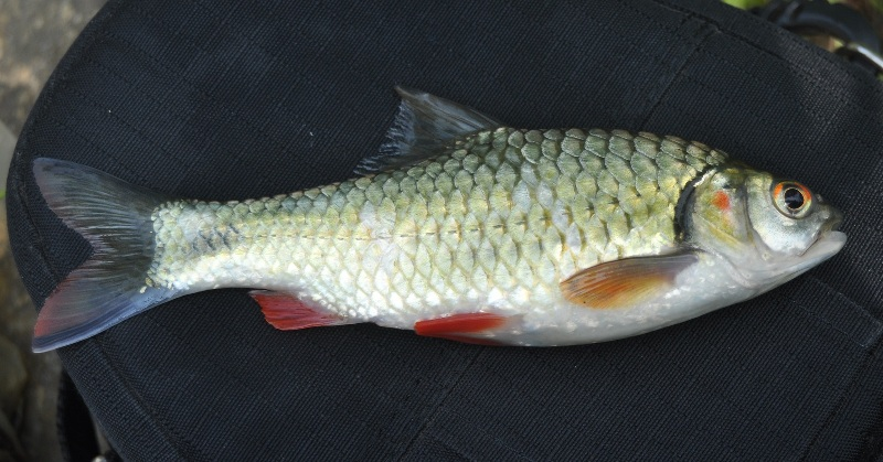 manfaat ikan tawes bagi kesehatan