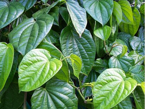 Jual Tanaman Sirih Hijau | Tanaman Herbal Daun Sirih | Jual Tanaman Herbal