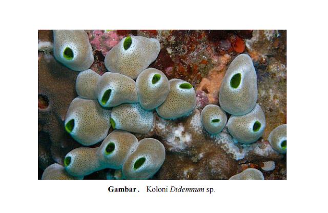 Ascidian: Pengertian, Klasifikasi, Morfologi, dan Pemanfaatannya