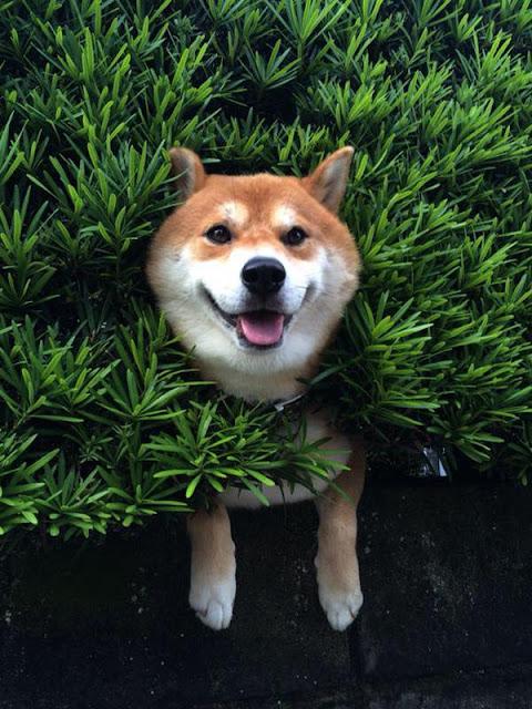 Buồn cười với chú chó bị mắc kẹt trong bụi cây nhưng vẫn ra vẻ không sao