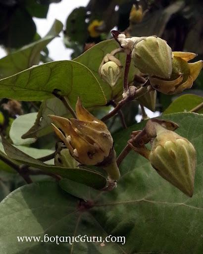 Hibiscus tiliaceus, Sea Hibiscus