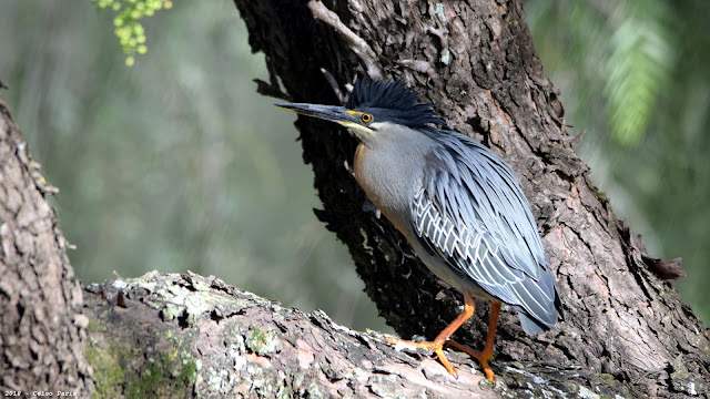 Striated Heron Butorides striatus striatus Socozinho Garcita Azulada