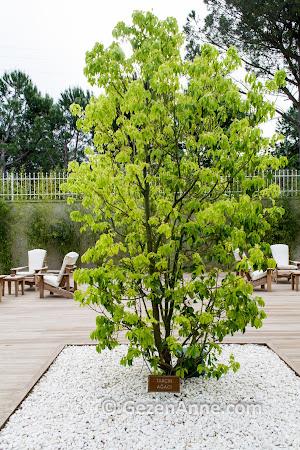 Kazdağlarında tarçın ağacı, Tarçın SPA Ramada Güre termal otel