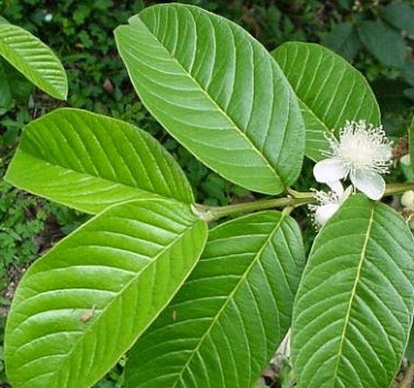 wound healing and guava leaves essay Also important is wound healing,  guava: leaves:  southern african medicinal plants used to treat unspecified skin ailments.