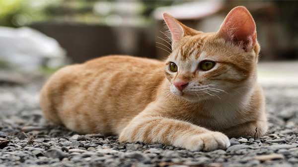German Rex Cat Breed Information