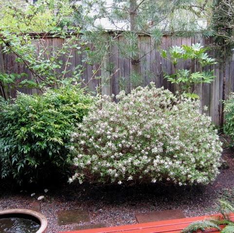 seattle garden ideas daphne
