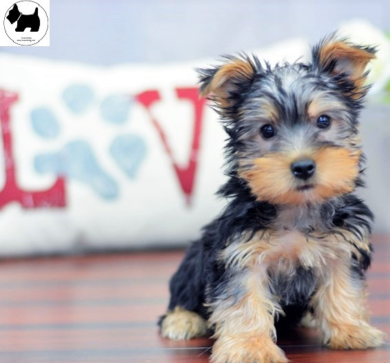 Cutest Dog Breeds, Best Dog, Australian Silky Terrier Dog puppies