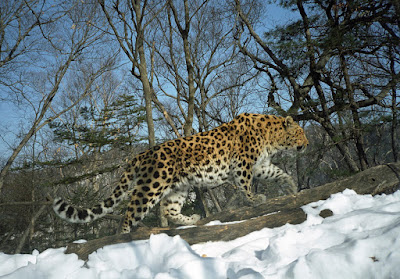 Canine distemper virus or Carnivore distemper virus? A case of fatal infection in Amur leopard in Russian wilderness