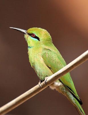 Abejaruco verde (Merops orientalis)