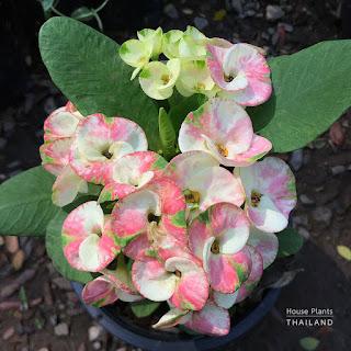 ดอกโป๊ยเซียน ต้นโป๊ยเซียน - วิธีการปลูก/ดูแล/ขยายพันธุ์