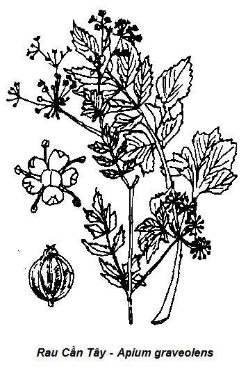Hình vẽ Rau Cần Tây-Apium graveolens-Nguyên liệu làm thuốc Hạ Huyết Áp