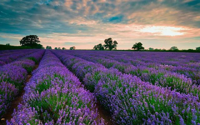 Saigonese create lavender paradise in Da Lat 1