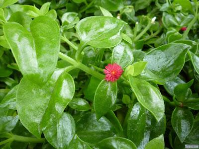 葉がプラスチックのような植物