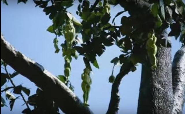 LOOK: Tree Bears Fruit Shaped Like A Woman.