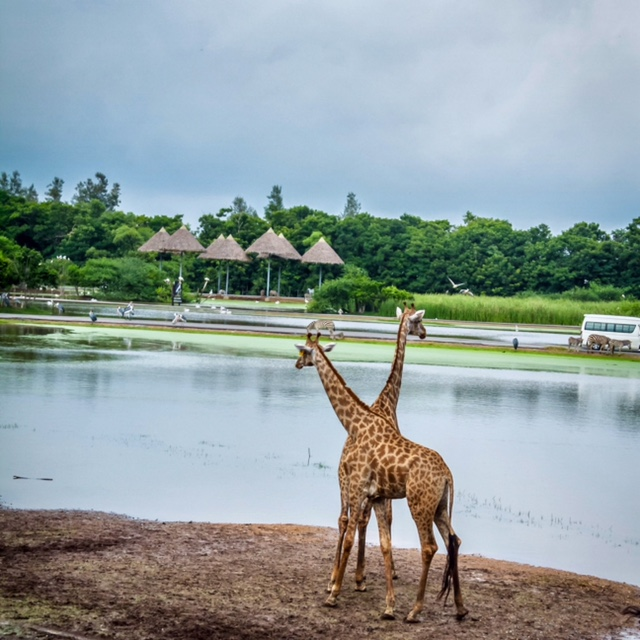 Giraffes in the Safari World, Bangkok