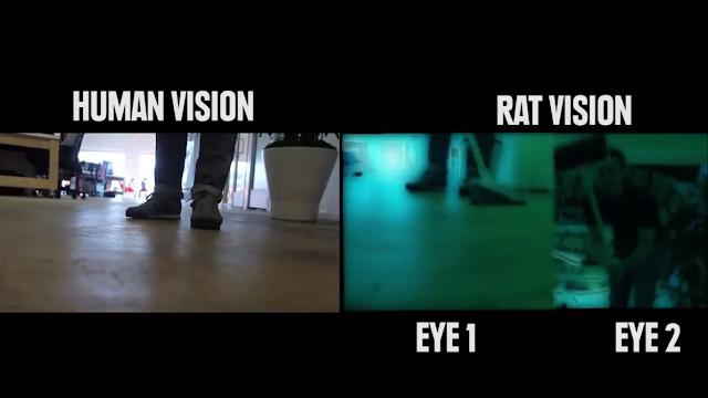 Penglihatan Tikus