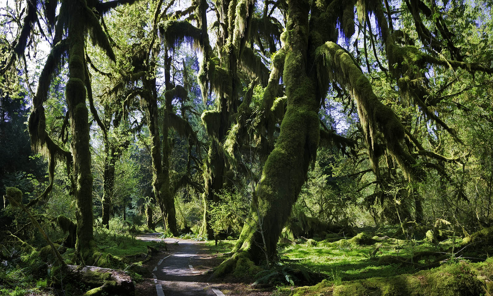 Jim Cox Photos Hoh Rainforest Hall Of Mosses