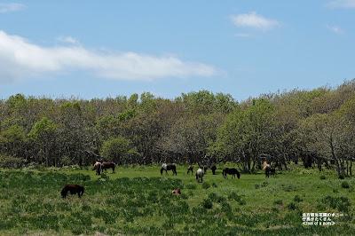 北方原生花園のポニー 仔馬がたくさん産まれた様子 ≪foal of a pony≫
