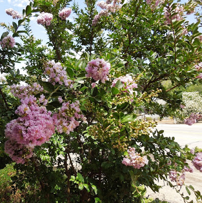 Light Pink Crape Myrtle Tree in July, Templeton, © B. Radisavljevic