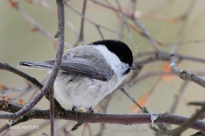 Carbonero montano - Willow tit - Poecile montanus. Se puede apreciar bien la diferencia con el capirote negro puro y los laterales de colores grises claros, con la mejilla totalmente depejada y blanca.