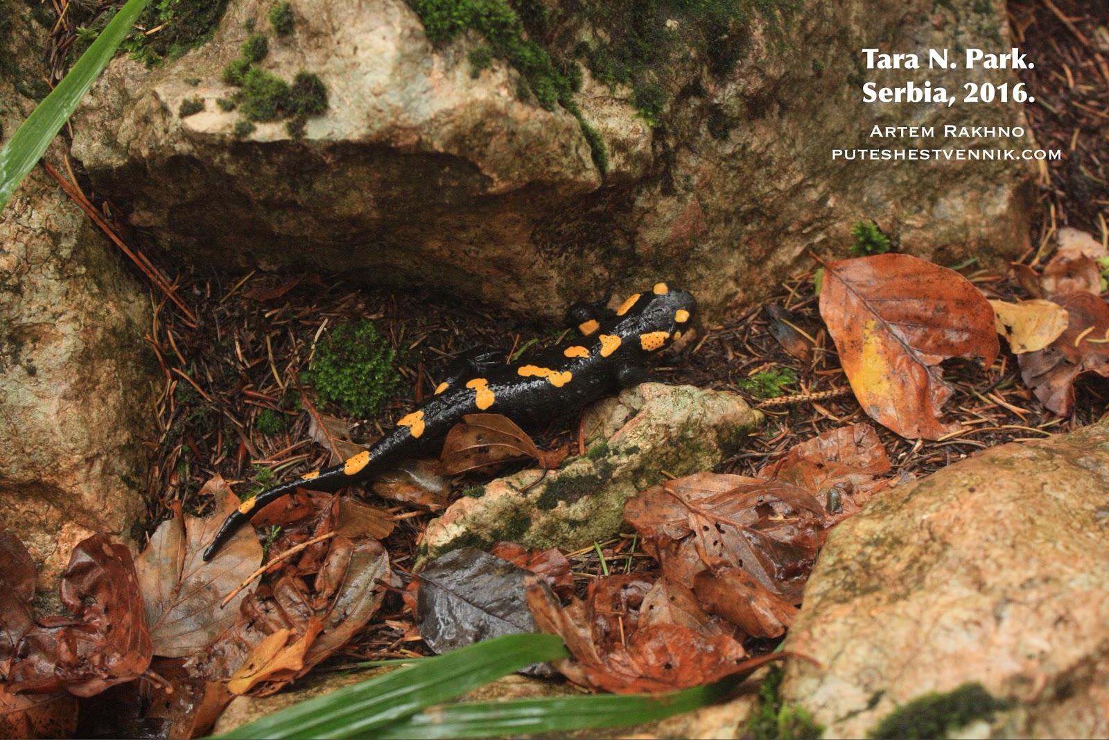 Саламандра в лесу