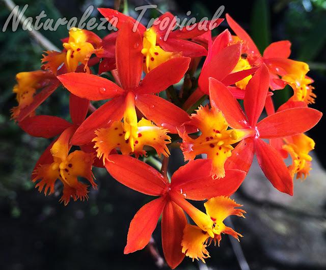La orquídea Estrella de Fuego o Arcoíris, Epidendrum radicans