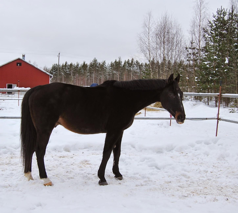 Hevosen Yskä