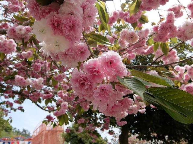 プレジャーフォレストに咲いていた桜の写真です。