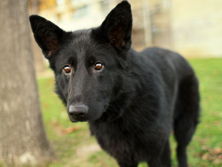 Noir Black German Shepherd Mix